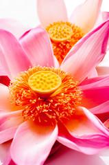 Lotus petal on white background