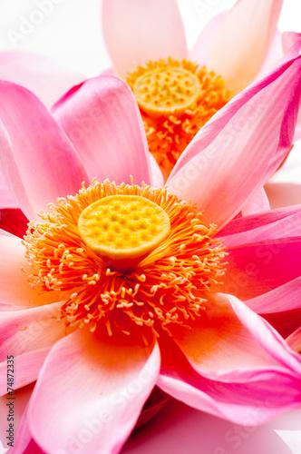 Aluminium Water planten Lotus petal on white background