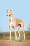 Greyhound standing on the top of the hill