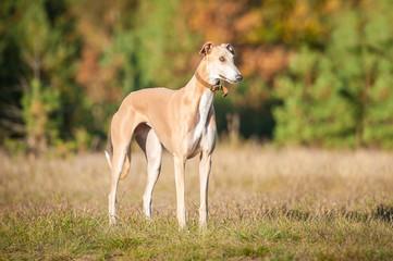 Greyhound standing in autumn