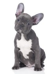 Niedliche französische Bulldogge , Welpe