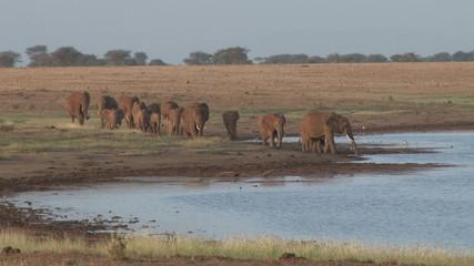 A herd of elephannts arrive in a waterhole