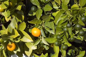 Orangenbaum, Orange, Citrus, sinensis, Zitrus