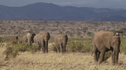 A herd of elephants migrating