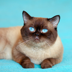 Portrait of cure siamese cat on blue background