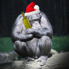 Drunken chimpanzee with hangover after new year party.