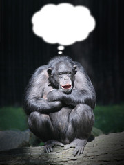 Funny chimpanzee dreaming. Picture with thought bubble.