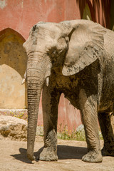 View of an African Elephant on a zoo.