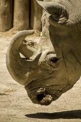 white rhinoceros or square-lipped rhinoceros
