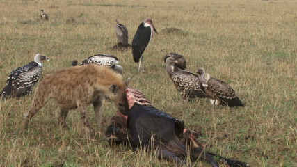 A hyena eating alone while vultures watch