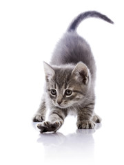 Amusing gray kitten.