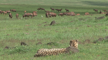 cheetah watches antelopes from a distance
