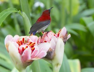 Птица желтоспинная острохвостая нектарница