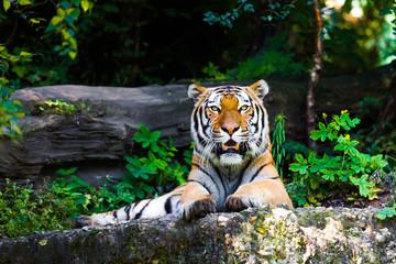 Beautiful tiger.