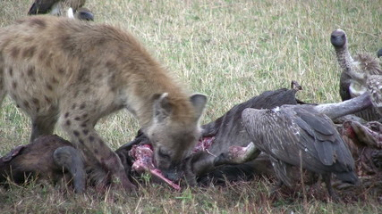 close up of hyena eating a dead wildebees