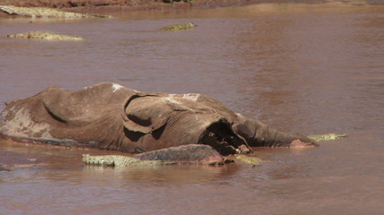 A dead elephant in the river with crocodiles eating