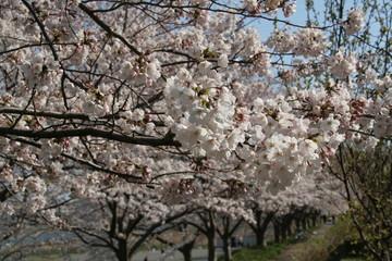 桜_相模川
