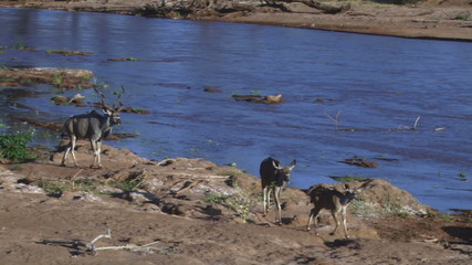 A family of greater kudu