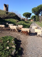 gregge sull'Appia Antica