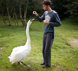 Young man feeding big swan