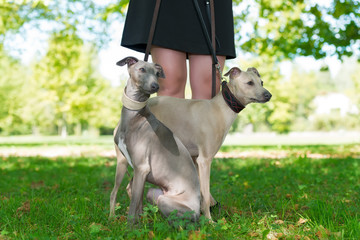 Legs of thegirl  and   two greyhounds