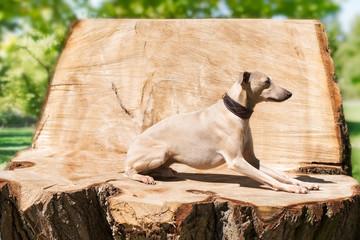 Greyhound on teh stump