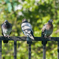 Rock doves on a fence