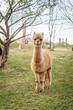 Single alpaca standing in the meadow