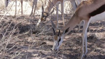 Portrait of young Impala antelope grazing in Etosha