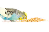 Picture of a budgie eating mixed seed
