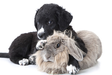 puppy interacting with a rabbit over white