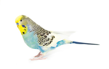 Picture of a Blue and Yellowface Budgie