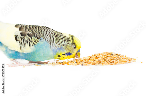 Poster Papegaai Picture of a budgie eating mixed seed