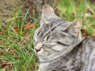 il gatto domestico addormentato