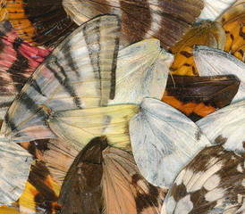 Various butterfly wings