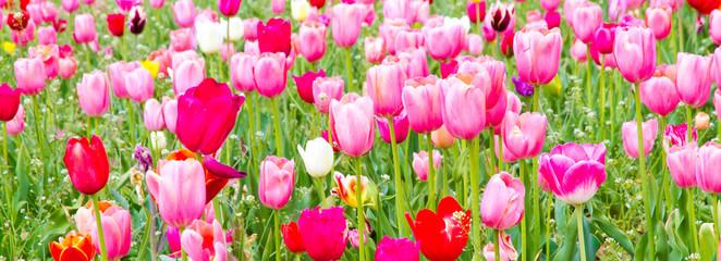 Farbenfrohes Tulpenpanorama