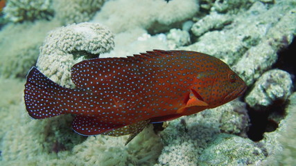 Vermilion Hind in the Red Sea