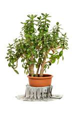 Crassula ovata or jade plant in flowerpot with money