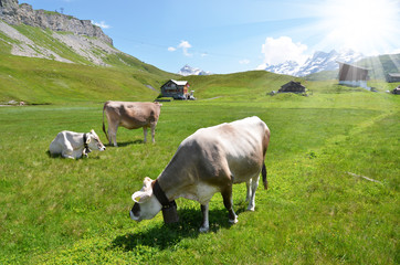 Cows in an Alpine meadow. Melchsee-Frutt, Switzerland