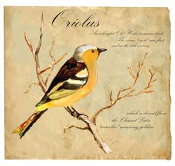 Hand painted illustration (vector), Bird: Oriolus