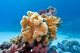 coral reef with yellow soft coral  sarcophyton in tropical sea