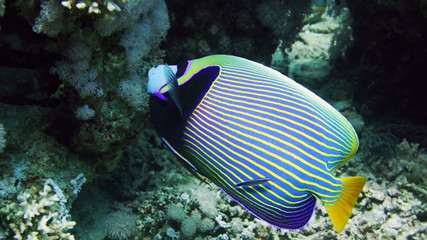 Emperor Angelfish (Pomacanthus imperator) on Coral Reef