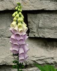 Purple Bell Flowers Foxglove