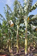 banana plantation 1749