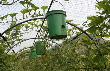 Tomato trees in pot invert