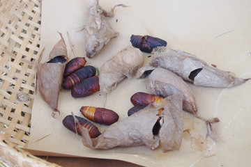 Natural silkworms  on the woven basket