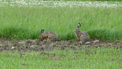 Two wild hares are grazing in the meadow 1