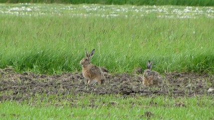 Two wild hares are grazing in the meadow 3