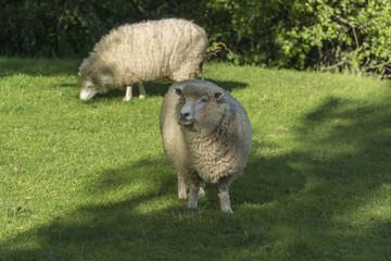 Grazing sheeps. New Zealand