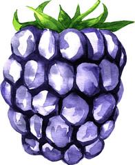 vector watercolor drawing blackberry